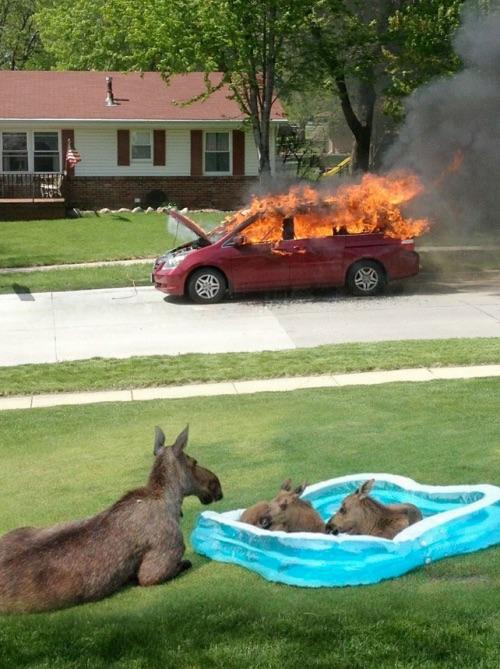 moose-car-fire