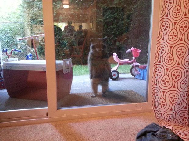 standing-raccoon-door