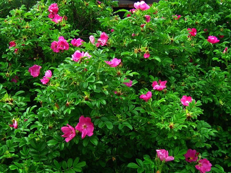 шиповник-цветение