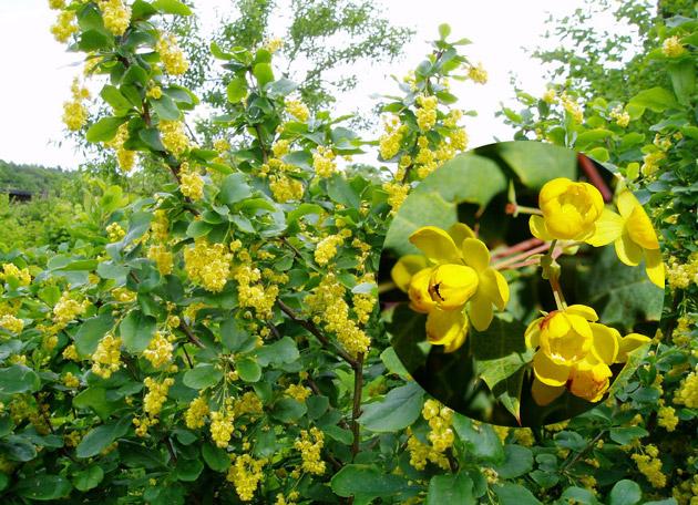 барбарис-цветение