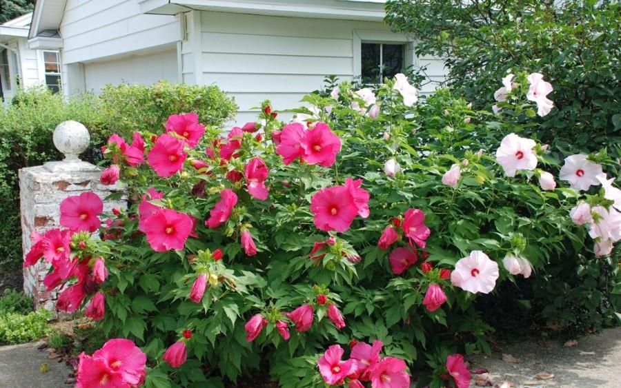 Гибискус-садовый-или-сирийская-роза-2