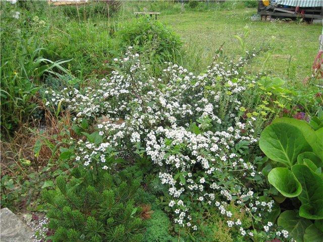 Кизильник-растопыренный-цветение