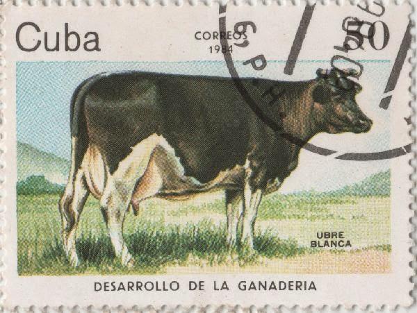 Картинки по запросу коровы куба