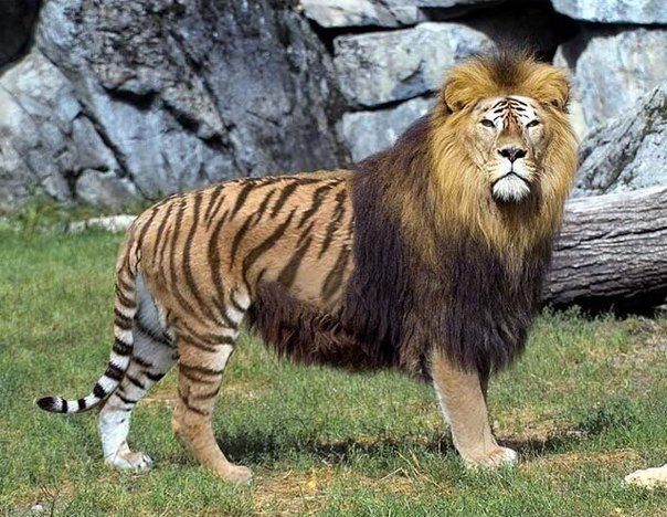 compare and contrast essay on a lion and tiger What is the difference between tiger and cheetah • tiger is larger and heavier than cheetah • tiger is found only in asia while cheetah is currently distributed only in africa.