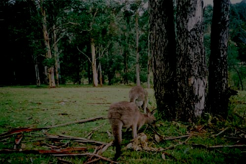 Description: Evelynne's iMac:Users:evelynnerobertson:Pictures:iPhoto Library:Masters:2004:australia:kangas.jpg