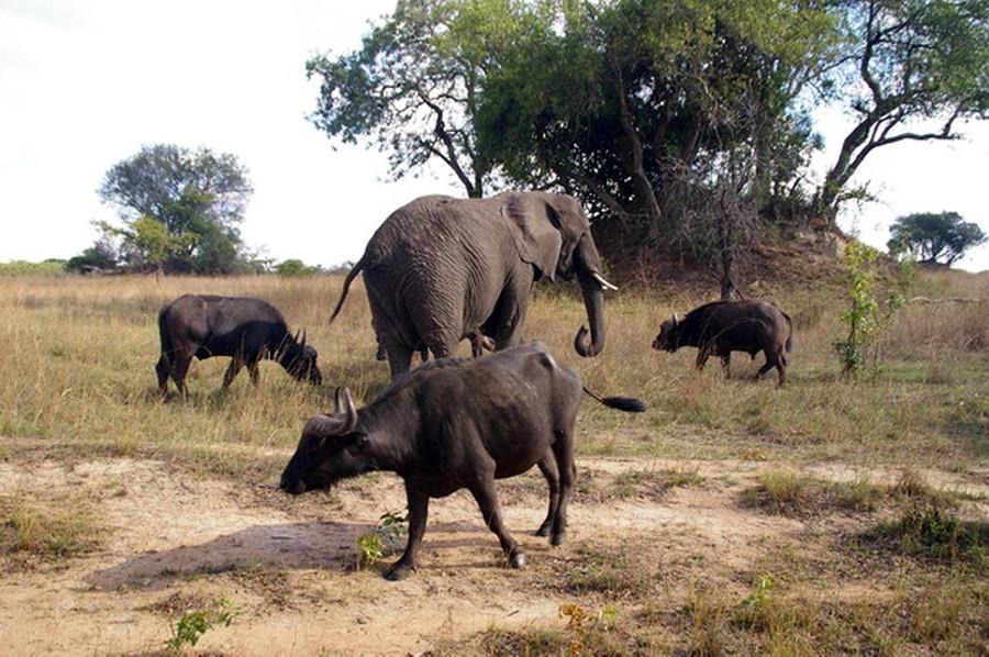Слониха-предводительница буффало!