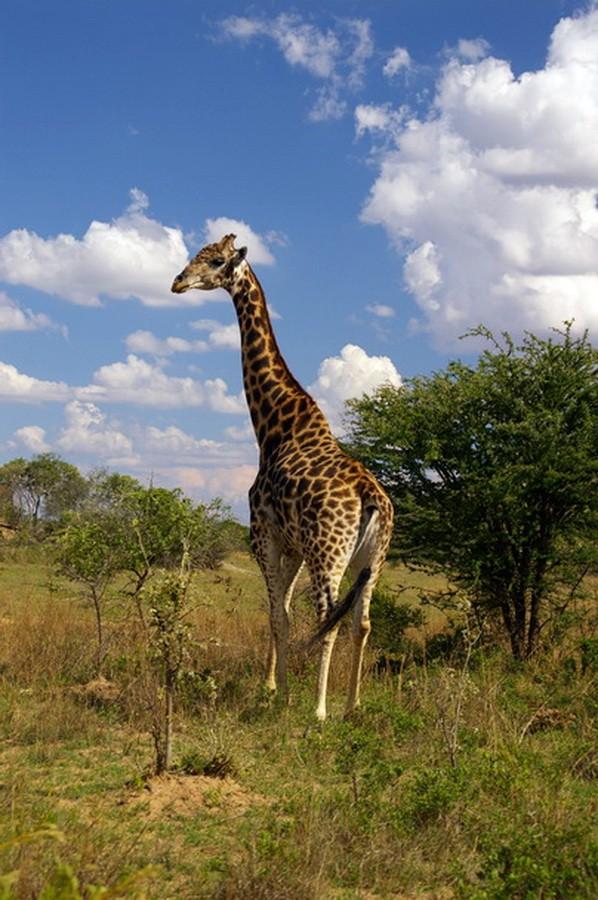 старый жираф