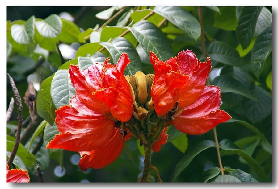 Африканские цветы