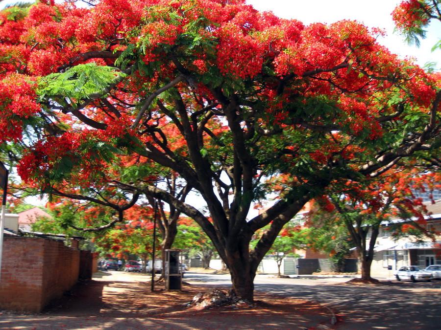 Картинки по запросу тюльпановое дерево
