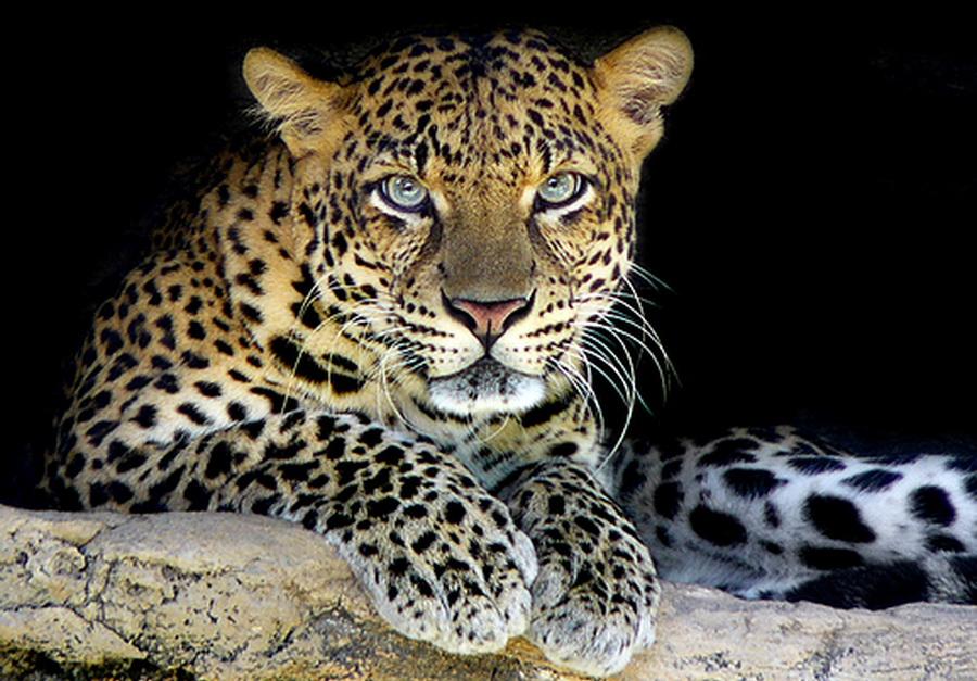 1316109011_afrikleopard