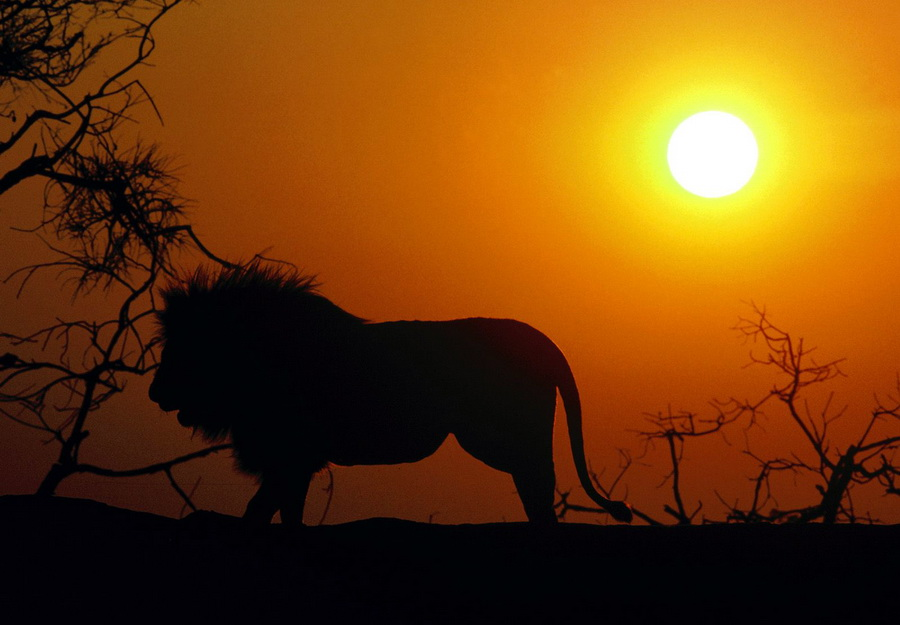1316109001_african-lion5