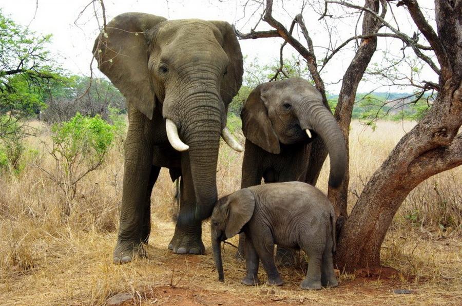 Слоны общаются с помощью звуков имея