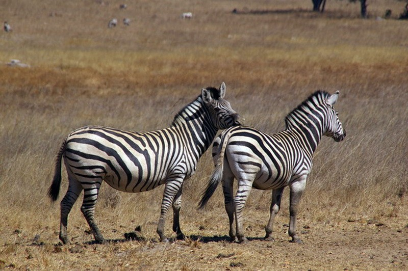 Зебр можно различить только по штрих-коду.
