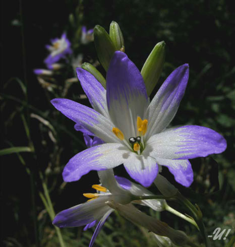 Fatalysia Flower