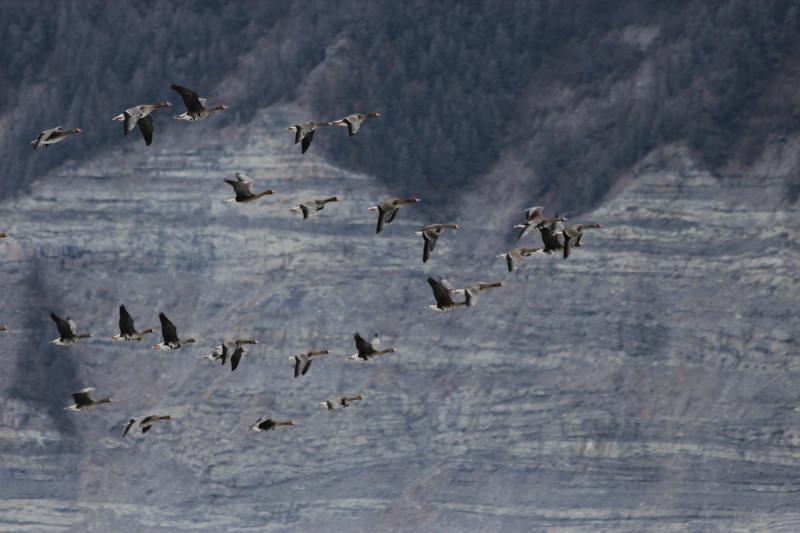 Перелёт гусей в Якутию к местам гнездования
