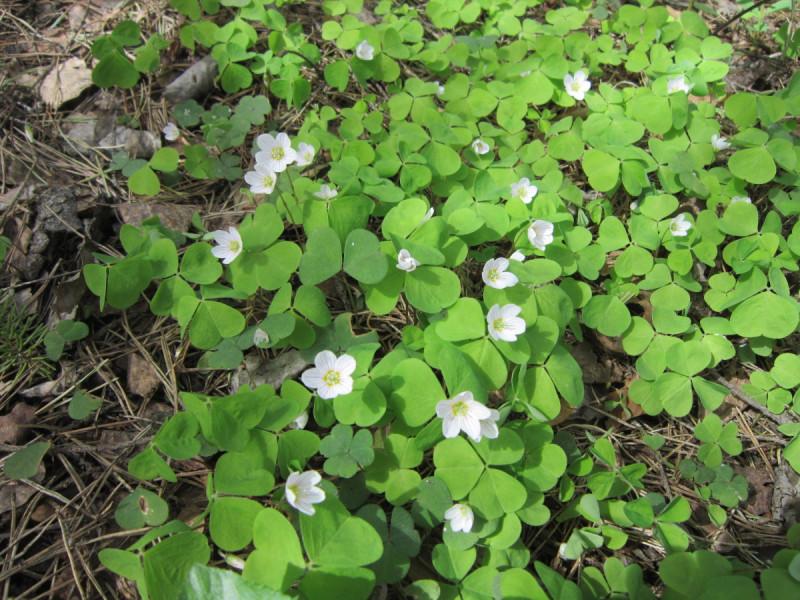Цветок невеличка, малютка кисличка белеет весной на почве лесной.