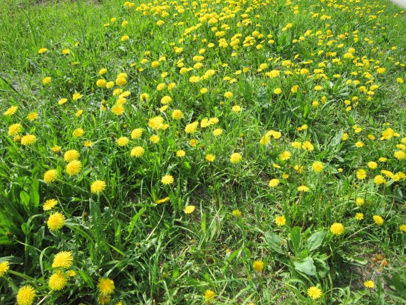 Сколько одуванчиков в жёлтых сарафанчиках! По полянке кружат, с солнцем очень дружат.
