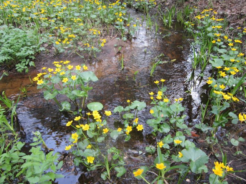 Ах, какая яркая жёлтая калужница, не боится, что вода рядышком запружится. Всё желтеет, зеленеет кочкою нарядною, вдоль реки в лесу пестреет лентою парадною.
