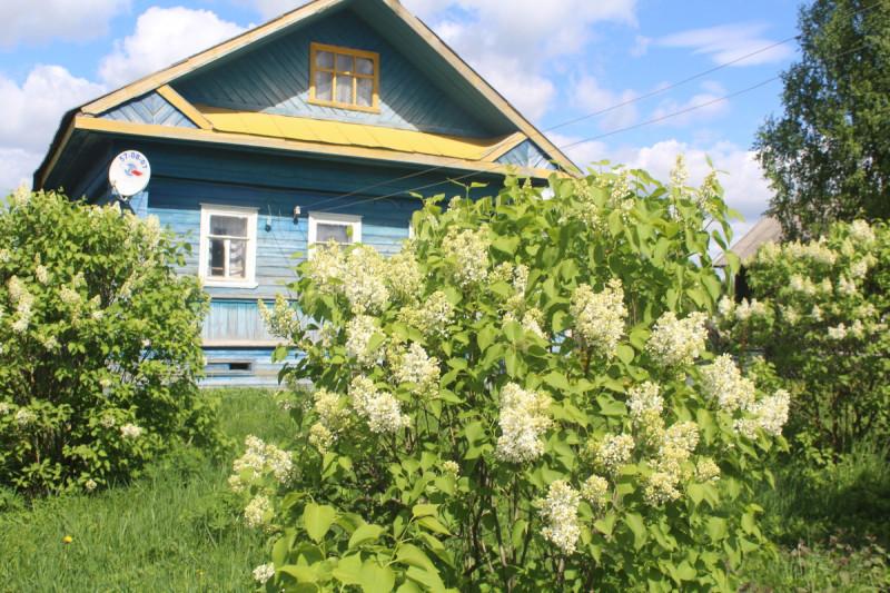 Цветёт сирень в деревне Ягница на Вологодчине