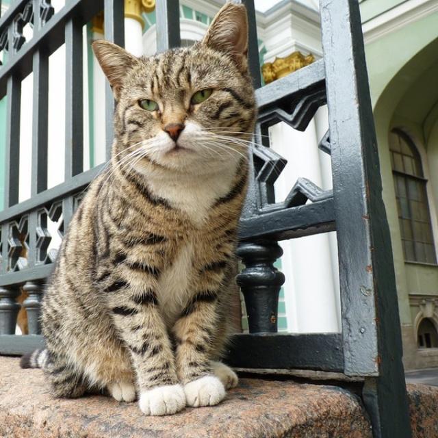 """Кот петербургский – особой породы! Он никогда не выходит из моды. Эта """"модель"""" актуальна всегда!"""