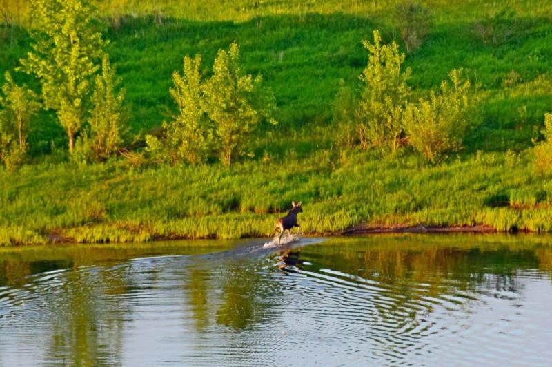 Лось уже переплыл Каму. Фото Дмитрия Рыбина