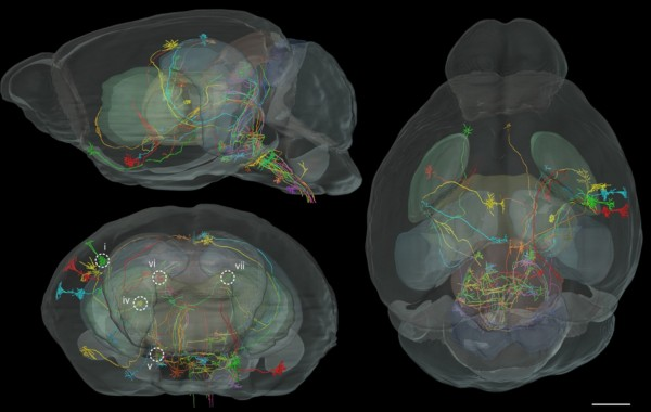 MouseBrain-FluorScan