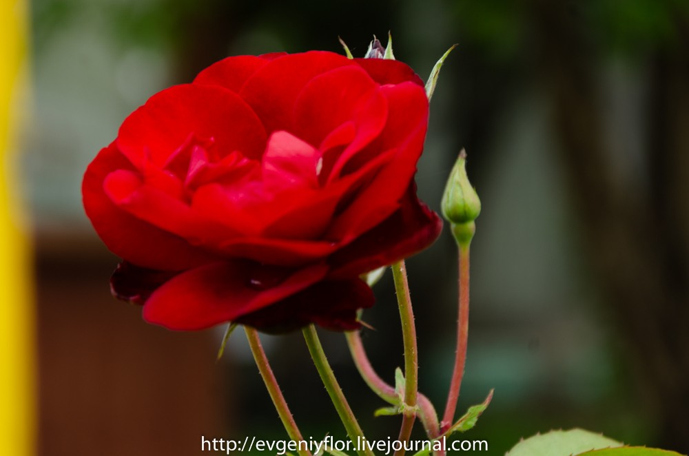 Роза и все вокруг неё _ (37 of 52).jpg