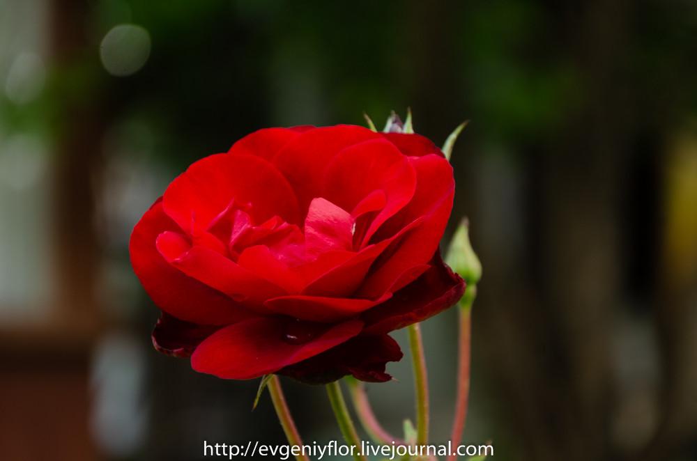 Роза и все вокруг неё _ (38 of 52).jpg