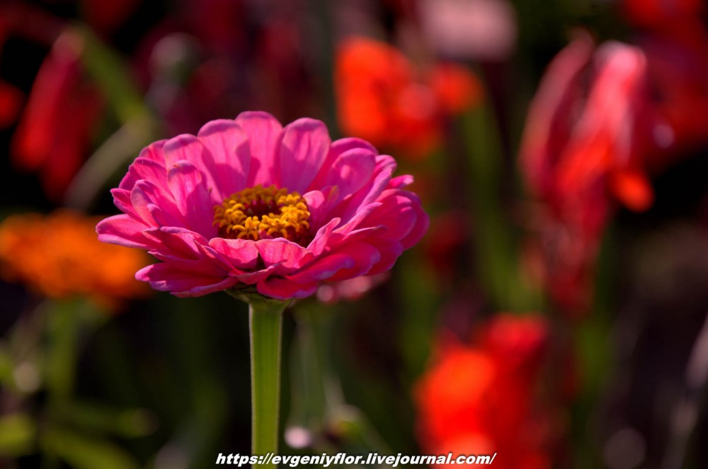 Просто красивые цветы с размытым задним фоном ...Новая папка0475.jpg