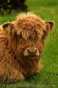 highland-calf-scotland_652