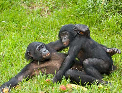 bonobo-7
