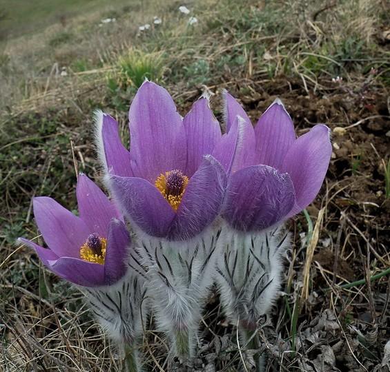 цветики мохеровые