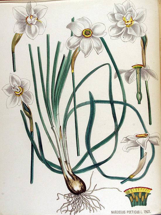 550px-Narcissus_poeticus_—_Flora_Batava_—_Volume_v17