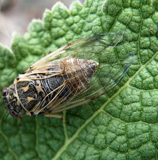 цикада жалобная