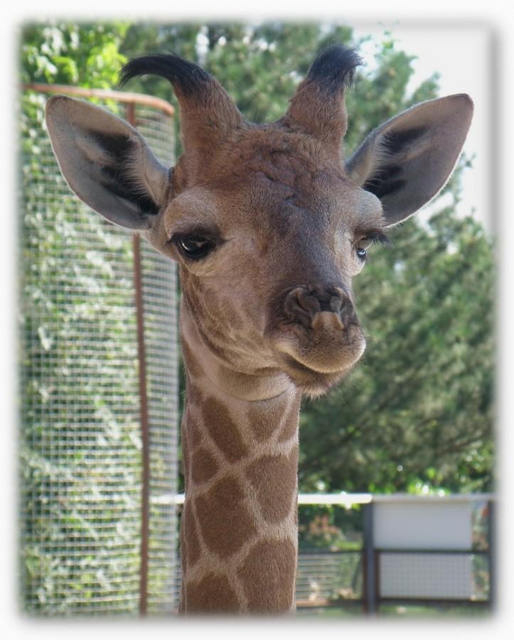 жирафёныш