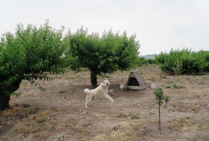 страж персикового сада