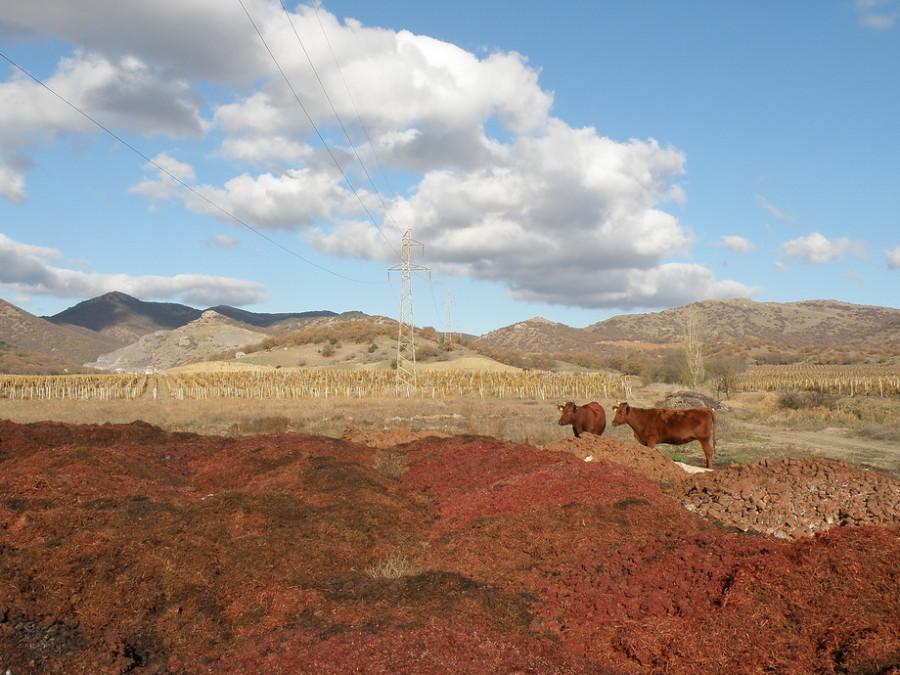коровы 3