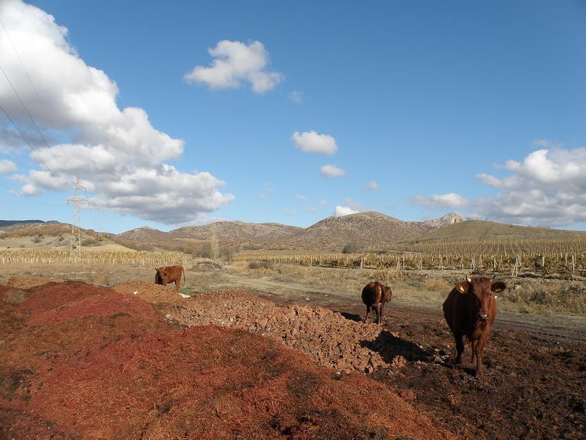 коровы 4