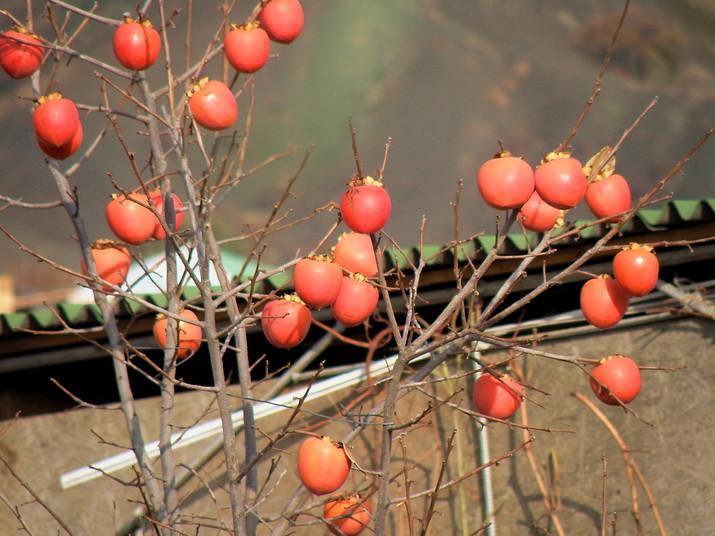 хурма - золотые яблоки