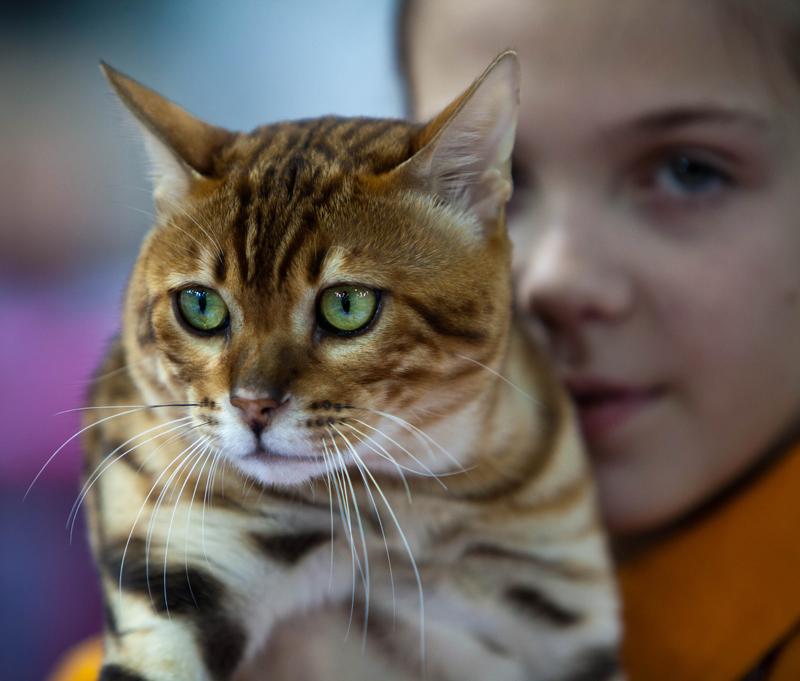 кот с д