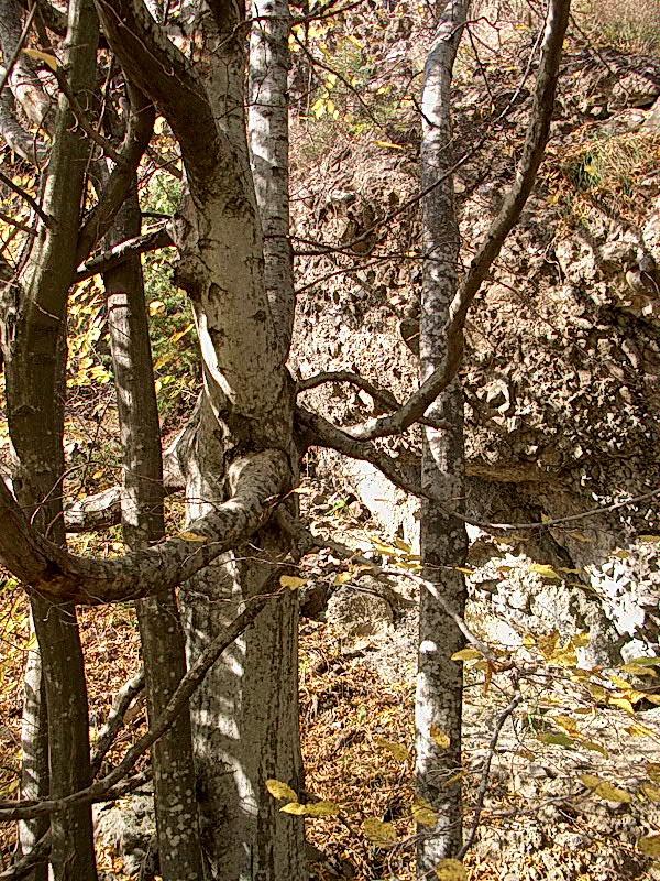 Деревья друидов по знакам зодиака