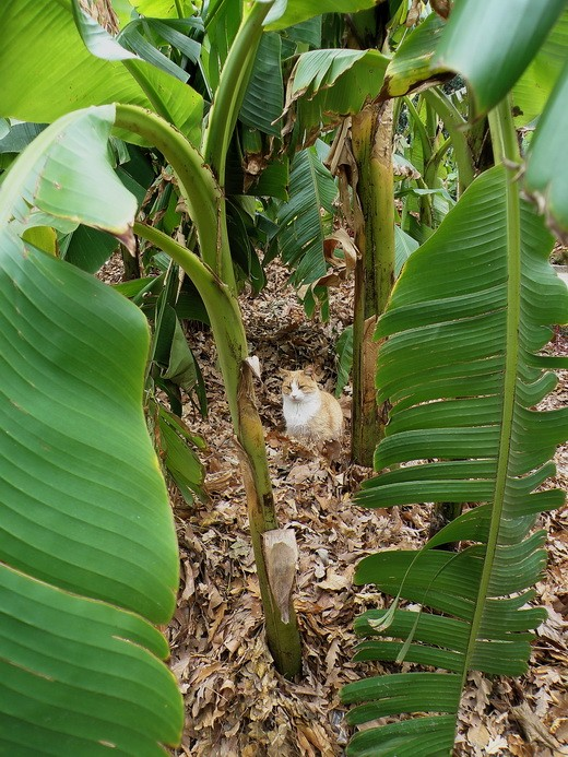 банановый кот