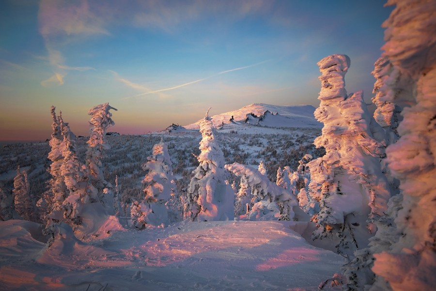 пихты зимой