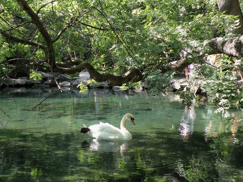 лебедь в Воронцовском парке
