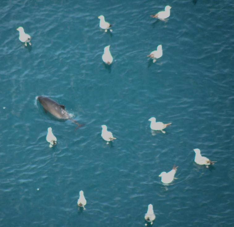 дельфин и чайки
