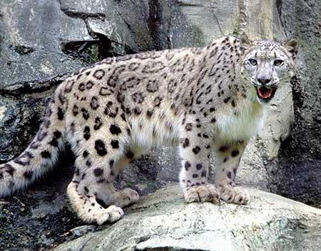 snow-leopard3