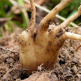 275px-Dactylorhiza_maculata20090914_071