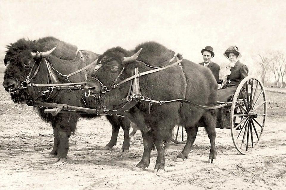 На бизоньей тяге.