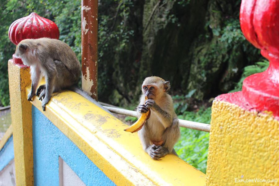 monkey_banan_malasiya
