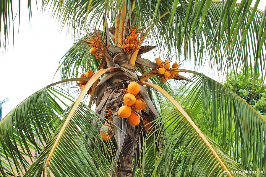 kokos-derevo